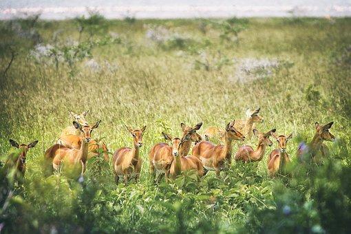 Animal, Antelope, Impala, Wild, Wildlife, Safari