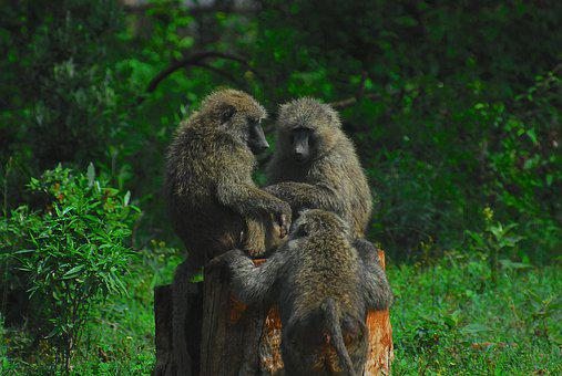 Baboon, Baboons, Monkey, Nature, Primate, Ape