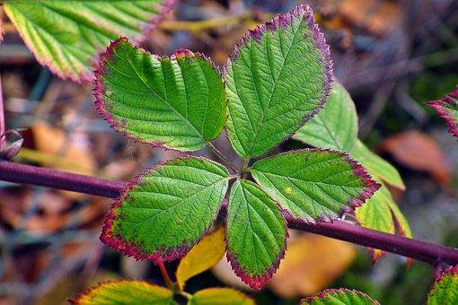 Foliage, Autumn, Blackberry Bezkolcowa, Colorful, Sprig
