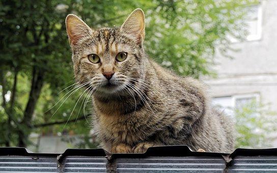 Cat, Pet, Fur, Gray, Stripes, Feline, Seated, Roof