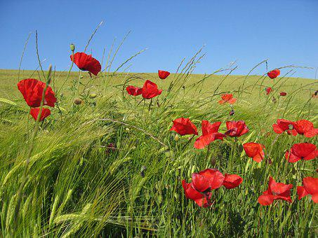 Poppies, Flowers, Field, Red, Cereals, Spring