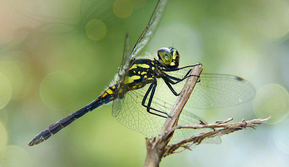 Szablak Blood, Female, Dragonflies Różnoskrzydłe, Adult