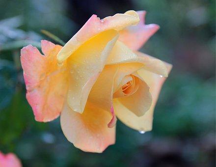 Rose, Flower, Plant, Romantic, Love, Beauty, Garden