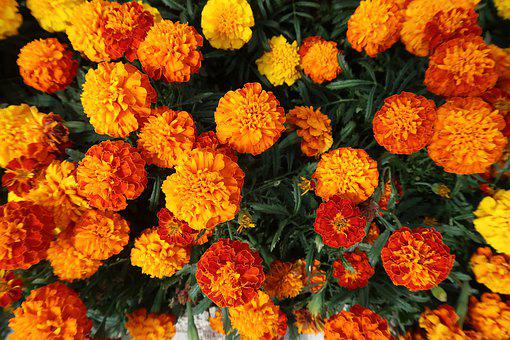 Marigold, Flowers, Garden, French Marigold, Bloom