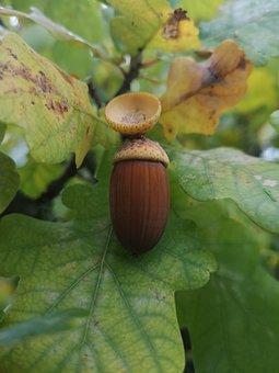 Oak, Acorn, Brown, Leaves, Green