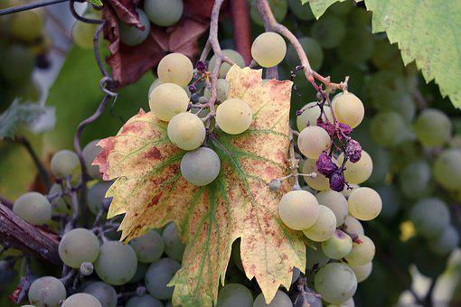 Grapes, Vines, Mature, Green, Winegrowing