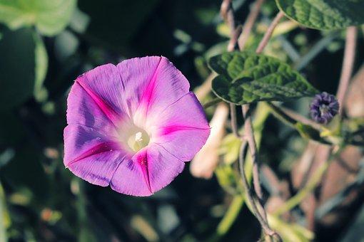 Stock Rose, Common Peony, Alcea Rosea, Hollyhock