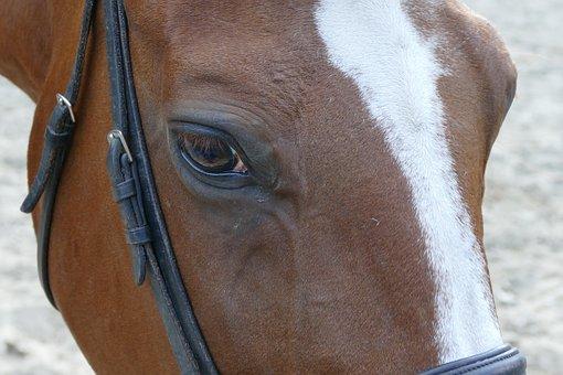 The Horse, Chestnut, Pony, Animals, Stallion, Horse