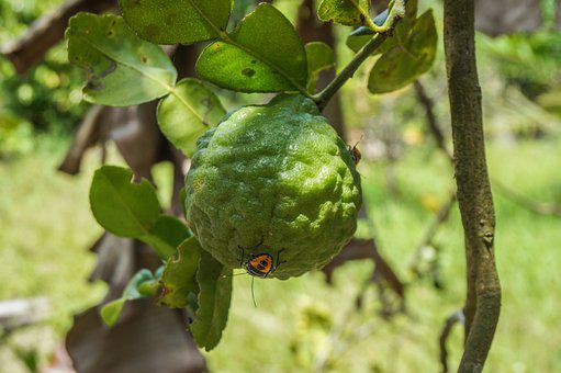Lime, Citrus, Fruit, Insects, Plant, Tree, Nature