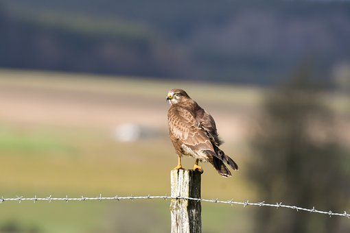 Common Buzzard, Hot Hot, The End Of The Day, Landscape
