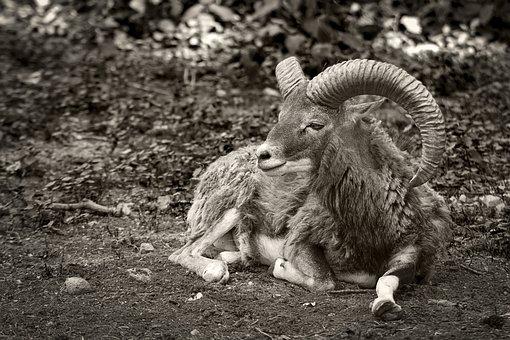 Goat, Mammal, Mammals, Animal, Nature, Livestock