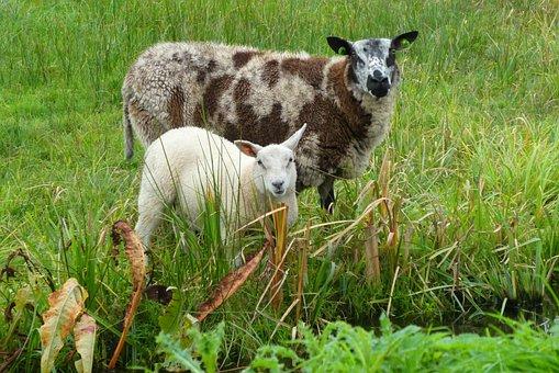Sheep, Meadow, Mammals, Grass, Herd, Cattle, Farm