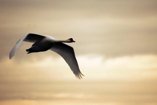 Swan, Sky, Lake, Bird, Flying, Mood, Water Bird