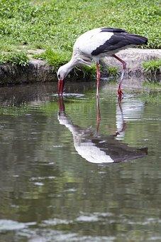 Stork, Bird, Nature, Animal, Plumage, Flying, Bill