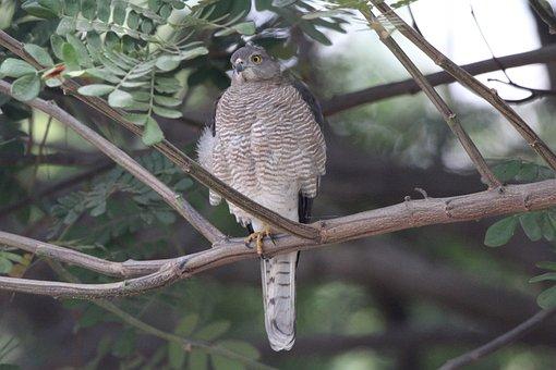 Bird, Nature, Animal, Plumage, Raptor, Shikra, Wildlife