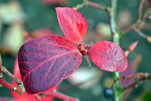 Foliage, Autumn, Blueberries American, Nature, Colorful