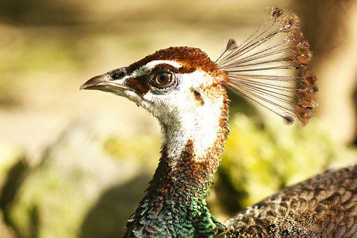 Animal, Head, Bird, Feather, Crown, Peahen, Nature