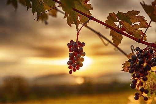 Sunset, Vineyard, Landscape, Sky, Nature, Vine, Sun