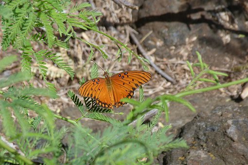 Butterfly, Orange, Nature, Gulf Fritillary, Hawaii