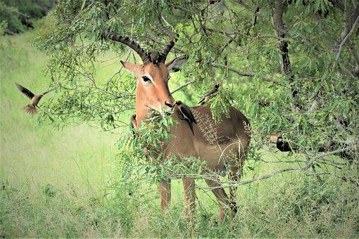 Impala, Red, Ram, Oxpecker, Bird, Watching, Ticks
