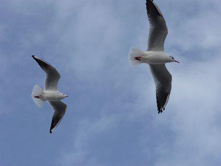 Two, Gulls, Sky, Birds
