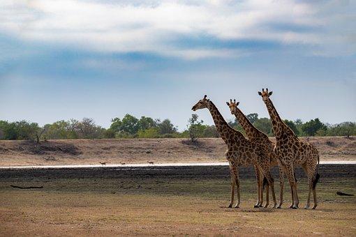 Giraffes, Steppe, South Africa, Kruger National Park