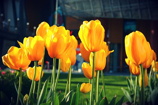Tulips, Flower, Spring, Nature, Garden, Blooming, Color
