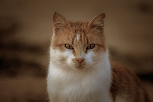 Cat, Stray, Staring, Suspicious, Looking, Portrait