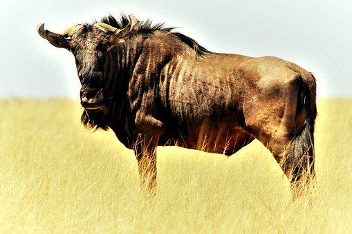 Blue Wildebeest, Gnu, Shaggy Beard, Stripes, Steppe
