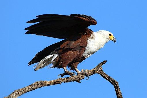 Adler, Blue, White Tailed Eagle, Branch, Bird, Sky