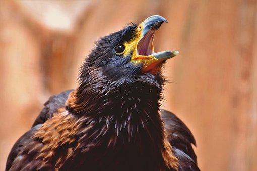 Buzzard, Harris Hawk, Raptor, Wild Bird