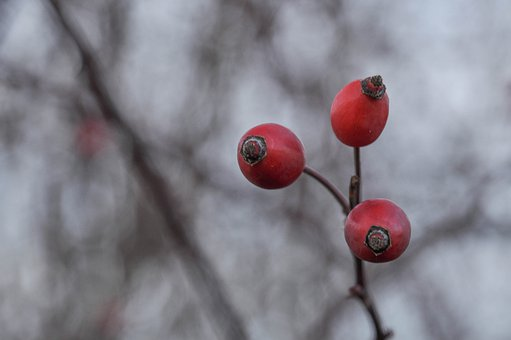 Winter, Berries, Rose Hip, Barrenness