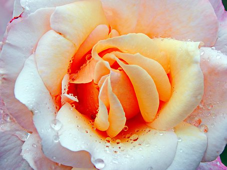 Yellow Roses, Beautiful, Flower, Plant, Romantic