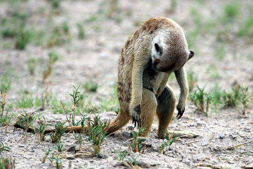 Meerkat, Safari, Africa, Animal World, Desert, Cute