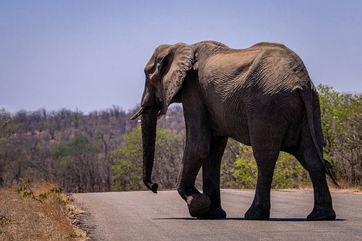 Elephant, African Bush Elephant, Safari, South Africa