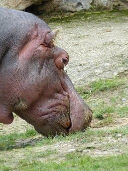 Hippo, Head, Pachyderm, Animal World, Animal, Zoo