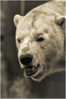 Bear, Zoo, Polar Bear, Fur, Animal, Animal World, Ice