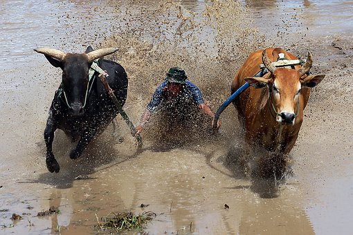 Pacu Jawi, Cow Race, West Sumatra, Animals, Competition