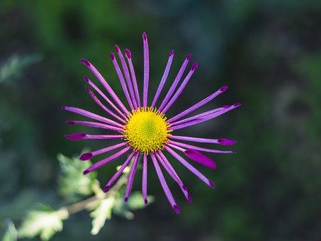 Flower, Chrysanthemum, Autumn, Flora, Garden