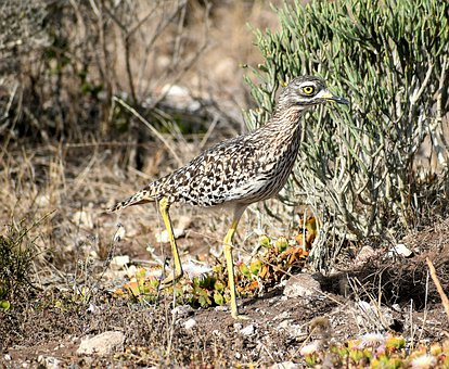 Bird, Avian, Nature, Thick-knee Plover, South Africa