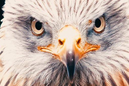 Adler, White Tailed Eagle, Raptor, Bird Of Prey, Bird