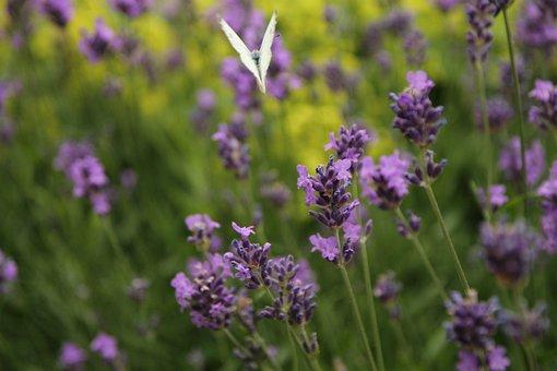 Nature, Butterfly, Garden, Spring, Summer, Lavender