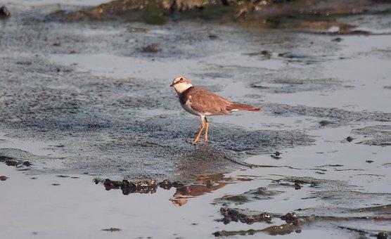Common Ring Plover, Migratory Bird, Seasonal, Visitors
