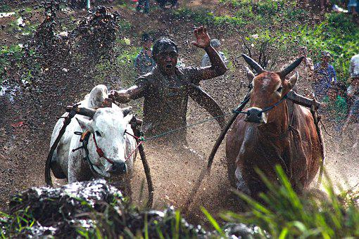 Action, Animals, Asia, Competition, Cow Race, Culture