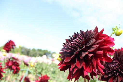 Grand Holiday, Flower, Dahlia, Flowers, Plant, Natural