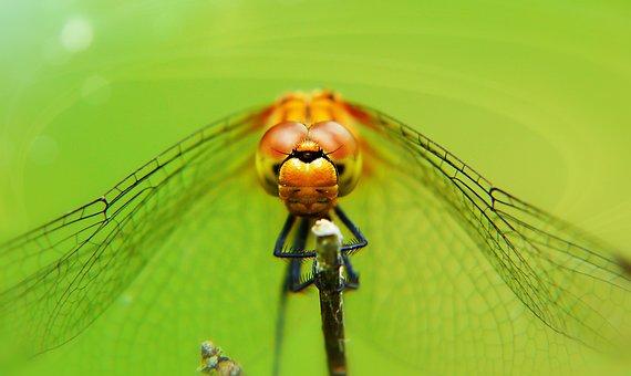 Lecicha Total, Female, Dragonflies Różnoskrzydłe