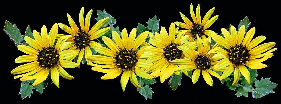 Flowers, Cape Weed, Daisies, Yellow, Pollen, Garden