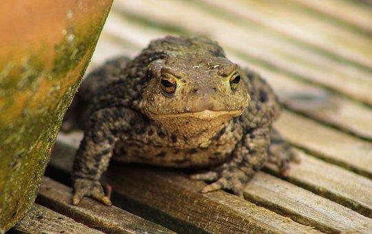 Frog, Animal, Nature, Pond, Water, Garden Pond, Sit