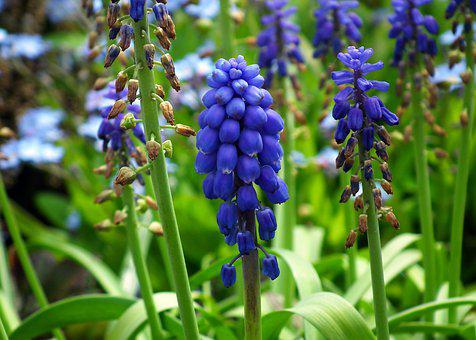 Grape Hyacinths, Flowers, Blue, Garden, Inflorescence