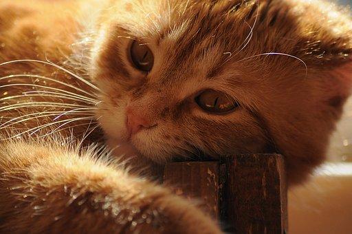 Red Cat, Sunny, Cat, Cute, Portrait, Lie